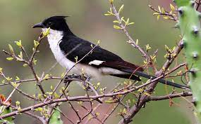Common Hawk