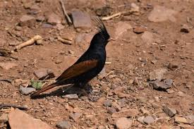 bird name in hindi and english